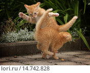 Купить «domestic cat, house cat (Felis silvestris f. catus), two red tabby kittens playfully fighting with each other, Germany, Baden-Wuerttemberg», фото № 14742828, снято 12 июля 2008 г. (c) age Fotostock / Фотобанк Лори