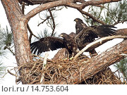 Купить «American bald eagle (Haliaeetus leucocephalus), young eagle with stretched wings on the nest, behind it another young eagle, USA, Florida», фото № 14753604, снято 25 марта 2013 г. (c) age Fotostock / Фотобанк Лори