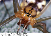Купить «Sheet-web weaver, Line-weaving spider, Line weaver (Linyphia triangularis), female, Germany», фото № 14766472, снято 16 апреля 2020 г. (c) age Fotostock / Фотобанк Лори
