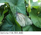Бабочка-боярышница сидит на листьях вьюнка. Стоковое фото, фотограф Роман Петрушин / Фотобанк Лори