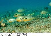 Купить «redbreast sunfish, red-breasted sunfish (Lepomis auritus), school, USA, Florida, Rainbow Springs State Park», фото № 14821708, снято 25 мая 2020 г. (c) age Fotostock / Фотобанк Лори