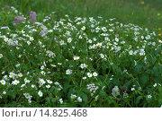 Купить «Bachelor's button, Ranunculus aconitifolius / Eisenhutblättriger Hahnenfuß, Ranunculus aconitifolius», фото № 14825468, снято 9 июня 2012 г. (c) age Fotostock / Фотобанк Лори