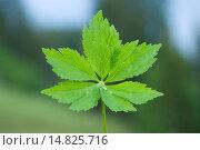 Купить «Bachelor's button, Ranunculus aconitifolius / Eisenhutblättriger Hahnenfuß, Ranunculus aconitifolius», фото № 14825716, снято 9 июня 2012 г. (c) age Fotostock / Фотобанк Лори