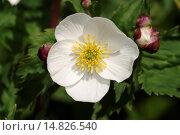 Купить «Bachelor's button, Ranunculus aconitifolius / Eisenhutblättriger Hahnenfuß, Ranunculus aconitifolius», фото № 14826540, снято 26 мая 2005 г. (c) age Fotostock / Фотобанк Лори