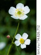 Купить «Bachelor's button, Ranunculus aconitifolius / Eisenhutblättriger Hahnenfuß, Ranunculus aconitifolius», фото № 14826712, снято 8 августа 2012 г. (c) age Fotostock / Фотобанк Лори