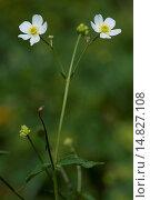 Купить «Bachelor's button, Ranunculus aconitifolius / Eisenhutblättriger Hahnenfuß, Ranunculus aconitifolius», фото № 14827108, снято 8 августа 2012 г. (c) age Fotostock / Фотобанк Лори