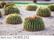 Купить «Шарообразные кактусы растут на песке. Египет», фото № 14855212, снято 5 ноября 2015 г. (c) Кекяляйнен Андрей / Фотобанк Лори