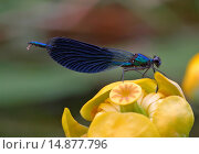 banded blackwings, banded agrion, banded demoiselle (Calopteryx splendens, Agrion splendens), male sitting on a pond-lily blossom. Стоковое фото, фотограф F. Hecker / age Fotostock / Фотобанк Лори