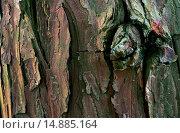 Купить «incense cedar, Californian white cedar (Calocedrus decurrens), bark», фото № 14885164, снято 21 октября 2019 г. (c) age Fotostock / Фотобанк Лори