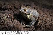 Купить «Обыкновенная серая жаба (лат. Bufo bufo) в земляной норе», фото № 14888776, снято 3 июня 2012 г. (c) Абрамова Ксения / Фотобанк Лори