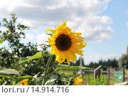 Молодой подсолнух на садовом участке. Стоковое фото, фотограф Роман Петрушин / Фотобанк Лори