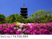 Купить «Bitchu Kokubu temple, Five-Storied Pagoda, azalea, buddhist temple, Soja city, Okayama Prefecture, Sanyo, Japan», фото № 14936884, снято 19 марта 2019 г. (c) age Fotostock / Фотобанк Лори