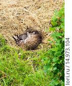 Купить «Бездомные кошка с котенком спят на сене», фото № 14973104, снято 24 июня 2015 г. (c) Алексей Маринченко / Фотобанк Лори