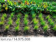 Pflanzen im Beet. Стоковое фото, фотограф Zoonar/P.Himmelhuber / age Fotostock / Фотобанк Лори