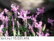 Lavandula stoechas, Schopflavendel, French lavender. Стоковое фото, фотограф Zoonar/P.Himmelhuber / age Fotostock / Фотобанк Лори