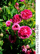 Купить «Rosa gallica Charles de Mills, Essigrose, French rose», фото № 15046940, снято 23 апреля 2019 г. (c) age Fotostock / Фотобанк Лори