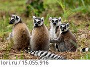 Купить «Ring-tailed lemurs paddycake,Vakôna Forest Lodge, Andasibe, Madagascar», фото № 15055916, снято 10 июня 2014 г. (c) age Fotostock / Фотобанк Лори