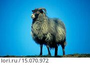 Купить «gray honed heath sheep (Ovis ammon f. aries), at eye level, Germany», фото № 15070972, снято 19 февраля 2019 г. (c) age Fotostock / Фотобанк Лори