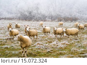 domestic sheep (Ovis ammon f. aries), frost covered landscape and sheep on the field, Germany, Baden-Wuerttemberg, Ortenau. Стоковое фото, фотограф A. Laule / age Fotostock / Фотобанк Лори