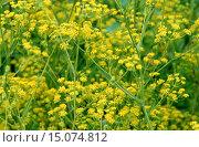 Купить «Sickle-leaved hare's-ear (Bupleurum falcatum), blooming», фото № 15074812, снято 24 января 2020 г. (c) age Fotostock / Фотобанк Лори