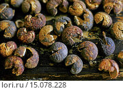 Купить «levant berry, indicus cocculus (Anamirta paniculata, Anamirta cocculus), dried fruits, in former times used for fishing», фото № 15078228, снято 29 июля 2014 г. (c) age Fotostock / Фотобанк Лори