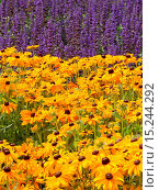 Купить «Echinacea», фото № 15244292, снято 7 июля 2020 г. (c) age Fotostock / Фотобанк Лори