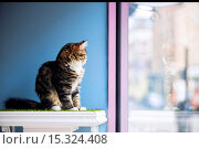 Купить «If your fe-line like you want to have lunch with your kitty then why not head to London's first ever cat café! Lady Dinah's Cat Emporium allows visitors...», фото № 15324408, снято 9 июня 2014 г. (c) age Fotostock / Фотобанк Лори