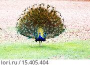 Peacock with flowing tail walks across the yard. Стоковое фото, фотограф Наталья Волкова / Фотобанк Лори