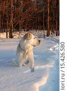 Купить «Собака стоит в снегу на фоне леса», фото № 15426580, снято 27 июня 2019 г. (c) Музыка Анна / Фотобанк Лори