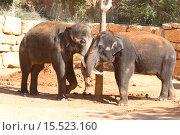 Купить «Общение слонов», фото № 15523160, снято 29 ноября 2015 г. (c) Наталья Волкова / Фотобанк Лори