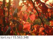 Рубиновые листья. Стоковое фото, фотограф Евгений Чуриков / Фотобанк Лори