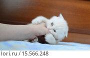 Купить «Котёнок кусает руку женщины», видеоролик № 15566248, снято 1 декабря 2015 г. (c) Володина Ольга / Фотобанк Лори