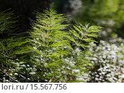 Купить «Хвощ в лесу», фото № 15567756, снято 5 августа 2013 г. (c) Надежда Болотина / Фотобанк Лори