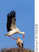 Купить «White storks (Ciconia ciconia) just before mating.», фото № 15714536, снято 30 марта 2009 г. (c) age Fotostock / Фотобанк Лори