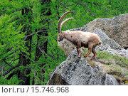 Купить «Capricorn, Ibex, mountain nanny goat, ruminat, Bovidae, Boviden, Germany, Capra ibex, mountains, horns, animals, wild animal,», фото № 15746968, снято 3 июня 2014 г. (c) age Fotostock / Фотобанк Лори