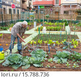 Купить «Spraying vegetables with organic liquid fertilizer made from Nettle leaves in city Allotment ( Huerto urbano ) in Las Palmas, Gran Canaria, Canary Islands, Spain.», фото № 15788736, снято 5 февраля 2015 г. (c) age Fotostock / Фотобанк Лори