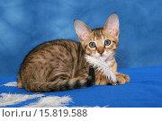 Купить «Savannah kitten with feathers», фото № 15819588, снято 23 ноября 2019 г. (c) age Fotostock / Фотобанк Лори