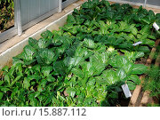 Brassica rapa chinensis, Pak choi, Chinese cabbage. Стоковое фото, фотограф Zoonar/P.Himmelhuber / age Fotostock / Фотобанк Лори
