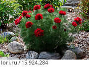 Купить «Red Fern Leaf Peony, Paeonia tenuifolia, growing in garden with rocks, gravel and bluebells.», фото № 15924284, снято 19 мая 2013 г. (c) age Fotostock / Фотобанк Лори
