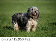 Купить «Polish lowland sheepdog», фото № 15950492, снято 19 августа 2018 г. (c) age Fotostock / Фотобанк Лори
