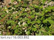 Купить «Nama-berry (Rhus dentata) close-up of leaves and fruit, Royal Natal N.P., Drakensberg Mountains, KwaZulu-Natal, South Africa, November», фото № 16003892, снято 27 июня 2019 г. (c) age Fotostock / Фотобанк Лори
