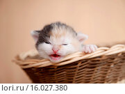Купить «newborn kitten», фото № 16027380, снято 22 июля 2019 г. (c) age Fotostock / Фотобанк Лори
