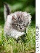 Купить «norwegian forest kitten», фото № 16038284, снято 13 декабря 2017 г. (c) age Fotostock / Фотобанк Лори