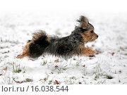 Купить «Terrier-Mongrel in snow», фото № 16038544, снято 22 августа 2019 г. (c) age Fotostock / Фотобанк Лори