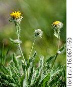 Купить «Hieracium villosum (Hieracium villosum), blooming, Austria, Tyrol, Lechtaler Alpen», фото № 16067160, снято 1 июля 2014 г. (c) age Fotostock / Фотобанк Лори