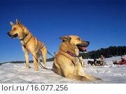 Купить «Siberian Husky, sled dogs at Bellecombe, Jura department, Franche-Comte region of eastern France, Europe.», фото № 16077256, снято 19 марта 2015 г. (c) age Fotostock / Фотобанк Лори