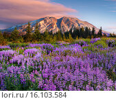 Купить «Mount Saint Helens, volcanoes, volcanic, Pacific Northwest, Pacific Northwest mountains, Cascade mountains, flowers, wildflowers, Spring, bear grass, Indian Paintbrush», фото № 16103584, снято 18 июня 2009 г. (c) age Fotostock / Фотобанк Лори