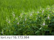 Купить «Japan, Sanyo Region, Okayama Prefecture, Okayama, Sesame flowers.», фото № 16173984, снято 21 августа 2018 г. (c) age Fotostock / Фотобанк Лори