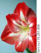 Купить «HIPPEASTRUM MINERVA», фото № 16281808, снято 24 января 2014 г. (c) age Fotostock / Фотобанк Лори