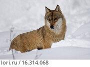Купить «wolf in the snow», фото № 16314068, снято 20 января 2006 г. (c) age Fotostock / Фотобанк Лори